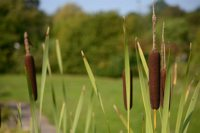 Typha latifolia 1