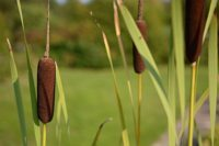 Typha latifolia 2